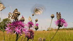 Marbled white butterflies (Melanargia galathea) nectaring on a clump of Greater knapweed flowers (Centaurea scabiosa) in a chalk grassland meadow, Wiltshire, England, UK, June.  -  Nick Upton