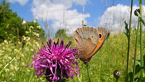 Two Meadow brown butterflies (Maniola jurtina) nectaring on Greater knapweed flowers (Centaurea scabiosa) in a chalk grassland meadow, Wiltshire, England, UK, June. - Nick Upton