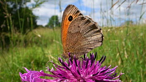 Close-up of a Meadow brown butterfly (Maniola jurtina) nectaring on a Greater knapweed flower (Centaurea scabiosa) in a chalk grassland meadow and flying off, Wiltshire, England, UK, June. - Nick Upton
