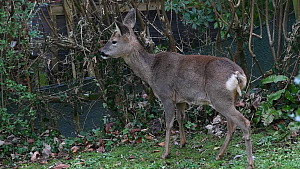 Roe deer (Capreolus capreolus) doe grazing on Common ivy (Hedera helix) from a garden hedge, Wiltshire, England, UK, February. - Nick Upton