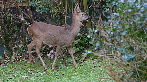 Roe deer (Capreolus capreolus) doe grooming itself and then grazing on a garden lawn, Wiltshire, England, UK, February. - Nick Upton