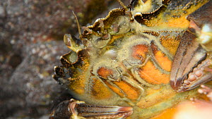 Close-up of a Common shore crab (Carcinus maenas) in a rock pool, vibrating its maxillae to aerate its gills and flicking its antennae, Cornwall, UK, March. - Nick Upton