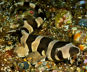 Brownbanded bamboo shark (Chiloscyllium punctatum) juvenile on sea floor. Pantar Island, Alor Archipelago, Indonesia. - David Hall