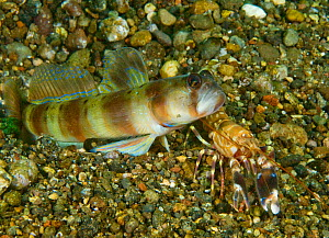 Arcfin shrimpgoby (Amblyeleotris arcupinna) and Snapping shrimp (Alpheus sp), blind shrimp maintaining contact with goby via antenna. Mutualism with shrimp maintaining burrow and goby acting as lookou...  -  David Hall