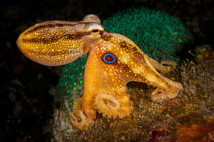 Poison ocellate octopus (Amphioctopus mototi) with blue ring which appears when disturbed. Pantar, Alor Archipelago, Indonesia.  -  David Hall