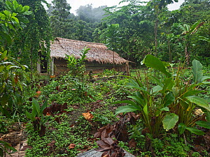 Forest garden with fruit and vegetables crops grown including Kumara, Taro, Bananas and Spring onions. House in background. Nara, Makira Island, Solomon Islands. 2019.  -  David Tipling