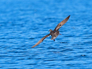 Heinroth's shearwater (Puffinus heinrothi) flying over sea. Savo Island, Solomon Islands. - David Tipling