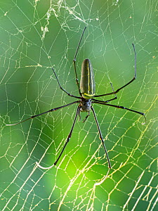Giant wood / Golden orb spider (Araneidae) in web. Savo Island, Solomon Islands.  -  David Tipling