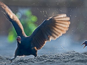 Melanesian megapode (Megapodius eremita) female excavating nest chamber in sand to lay egg. Savo Island, Solomon Islands.  -  David Tipling