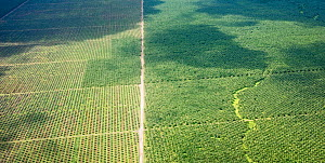 Palm oil plantation created from felling tropical rainforest. South of Honiara, Guadalcanal, Solomon Islands. 2018.  -  David Tipling