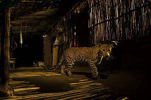 Leopard (Panthera pardus) in city at night, Mumbai, India.  December 2018.  -  Nayan Khanolkar