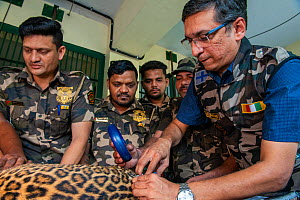 Rescue squad from the Forest Department microchipping a Leopard (Panthera pardus) Mumbai, Maharashtra, India. October 2018.  -  Nayan Khanolkar