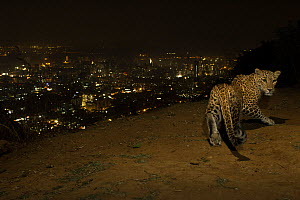 Leopard (Panthera pardus) at night with city lights behind, Mumbai, India. November 2018. Camera trap image.  -  Nayan Khanolkar