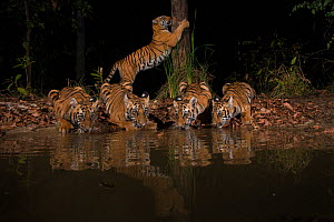Tigress (Panthera tigris tigris) with her four cubs from Chandrapur district, Maharashtra, India. She lives in an area known for human-animal conflict and yet is successfully raising her four cubs in...  -  Nayan Khanolkar