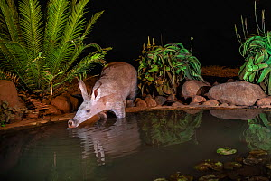Aardvark (Orycteropus afer) drinking at night, Zimanga private game reserve, KwaZulu-Natal, South Africa. Medium repro only  -  Ann  & Steve Toon