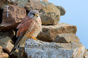 Kestrel (Falco tinnunculus) male perched on a rock cairn on a coastal headland, Cornwall, UK, April.  -  Nick Upton