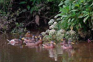 Group of young Mallards (Anas platyrhynchos) swimming together on the River Otter, near Otterton, Devon, UK, June. - Nick Upton