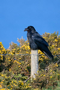 Raven (Corvus corax) perched on fence post among flowering Common gorse bushes (Ulex europaeus) on a clifftop with the sea in the background, Cornwall, UK, April.  -  Nick Upton