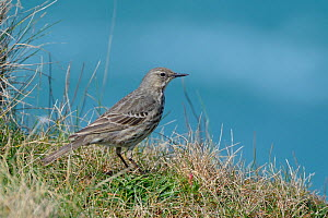 Rock pipit (Anthus petrosus) perched on cliff edge grassland with the sea in the background, Cornwall, UK, April.  -  Nick Upton