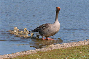 Greylag goose (Anser anser) emerging from a lake with its brood of six goslings following, Gloucestershire, UK, April.  -  Nick Upton