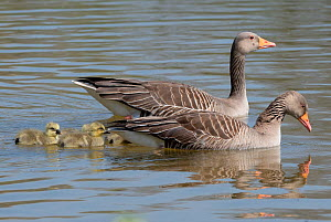 Greylag goose (Anser anser) pair swimming with four goslings on a lake, Gloucestershire, UK, April.  -  Nick Upton