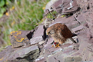 Kestrel (Falco tinnunculus) female perched on a cliff ledge while eating a Common shrew (Sorex araneus) brought by her mate as a courtship gift and held in her talons, Cornwall, UK, April.  -  Nick Upton