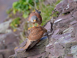Female Kestrel (Falco tinnunculus) soliciting male to mate with her by crouching down on a cliff ledge near their nest site, Cornwall, UK, April.  -  Nick Upton