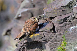 Kestrel (Falco tinnunculus) female perched on a cliff ledge with a Common shrew (Sorex araneus) brought by her mate as a courtship gift, Cornwall, UK, April.  -  Nick Upton