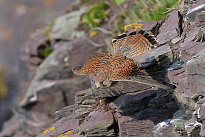 Kestrel (Falco tinnunculus) female in flight close to cliff face soon after taking off, Cornwall, UK, April.  -  Nick Upton