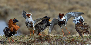 Ruff (Philomachus pugnax), group of males displaying at lek. Varanger, Norway. May. - Loic Poidevin
