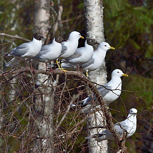 Common gull (Larus canus) and Black-headed gull (Chroicocephalus ridibundus) group perched on branch. Finland. May.  -  Loic Poidevin