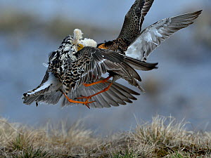 Ruff (Philomachus pugnax), two displaying males fighting at lek. Varanger, Norway. May.  -  Loic Poidevin