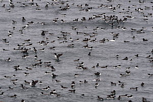 Common mure / guillemot (Uria aalge) group swimming on Barents sea. Horborgna Island, Varanger, Norway. May. - Loic Poidevin