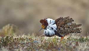 Ruff (Philomachus pugnax) male in courtship display at lek. Varanger, Norway. May.  -  Loic Poidevin