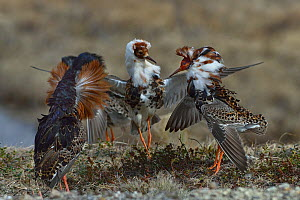 Ruff (Philomachus pugnax) three males in courtship display at lek. Varanger, Norway. May.  -  Loic Poidevin