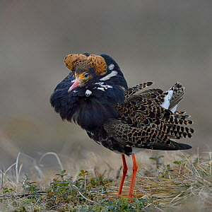 Ruff (Philomachus pugnax) male in courtship display at lek. Varanger, Norway. May. Small repro only.  -  Loic Poidevin