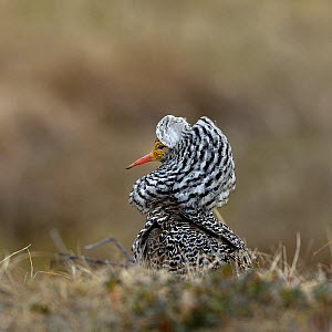 Ruff (Philomachus pugnax), male displaying at lek. Varanger, Norway. May.  -  Loic Poidevin