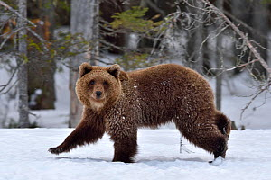 Brown bear (Ursus arctos) walking in snow at edge of forest. Finland. May. - Loic Poidevin