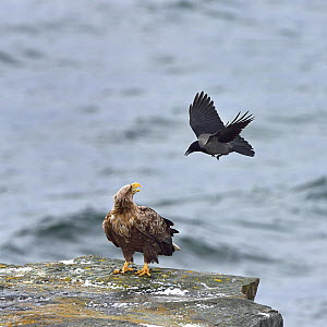 Hooded crow (Corvus cornix) mobbing White-tailed eagle (Haliaeetus albicilla) standing on coastal rock. Varanger, Norway. May. Small repro only  -  Loic Poidevin