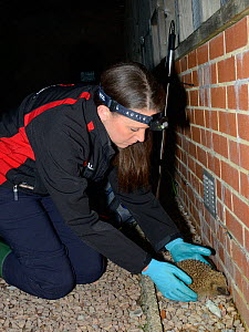 Lucy Bearman-Brown inspecting a Hedgehog (Erinaceus europaeus) with a transmitter attached she has found by radiotracking after dark, Hartpury University, Gloucestershire, UK, June 2019. Model release... - Nick Upton