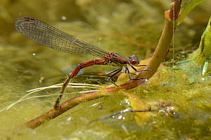Large red damselfly (Pyrrhosoma nymphula) female laying eggs on aquatic plants in a pond, Wiltshire, UK, June.  -  Nick Upton