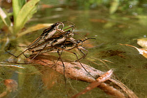Two male Common pond skaters / Water striders (Gerris lacustris) compete to mate with a female on the surface of a garden pond, Wiltshire, UK, May. - Nick Upton
