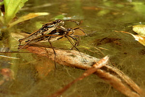 Common pond skater / Water strider (Gerris lacustris) pair mating on the surface of a garden pond, Wiltshire, UK, May. - Nick Upton