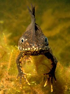 Great crested newt (Triturus cristatus) male in a garden pond at night, head-on view, Somerset, UK, March. Photographed under license.  -  Nick Upton