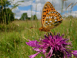 Dark green fritillary butterfly (Argynnis aglaja) nectaring on a Greater knapweed flower (Centaurea scabiosa) in a chalk grassland meadow, Wiltshire, UK, June.  -  Nick Upton