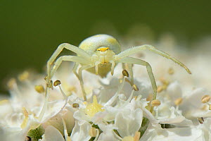 Head-on view of a Goldenrod crab spider (Misumena vatia) juvenile well camouflaged on a Common hogweed (Heracleum sphondylium) flowerhead, Wiltshire, UK, June. - Nick Upton
