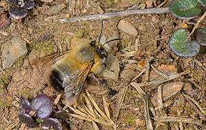Male Hairy-footed flower bee (Anthophora plumipes) wiating to intercept females nesting in an earth bank, Cornwall, UK, April. - Nick Upton