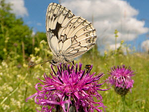 Marbled white butterfly (Melanargia galathea) nectaring on a Greater knapweed flower (Centaurea scabiosa) in a chalk grassland meadow, Wiltshire, UK, June. - Nick Upton