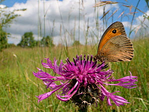Meadow brown butterfly (Maniola jurtina) nectaring on a Greater knapweed flower (Centaurea scabiosa) in a chalk grassland meadow, Wiltshire, UK, June. - Nick Upton