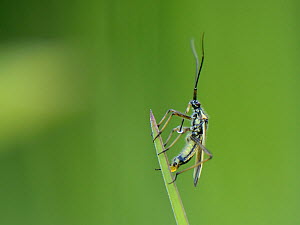 Meadow plant bug (Leptopterna dolabrata) female laying an egg on a grass blade in a meadow, Wiltshire, UK, June. - Nick Upton